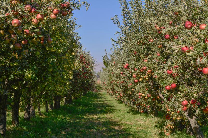 Taille de formation d'arbre fruitier Boucherville - Arbreiz Élagage sur la Rive-Sud de Montréal et à Montréal