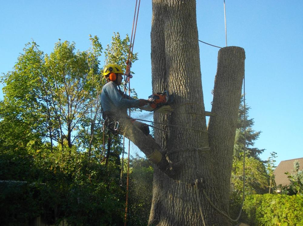 taille de haie de cedre et dechiquetage de branche sur la Rive-Sud de Montréal - Arbreiz Élagage, Émondage, Élagage et coupe d'arbre sur la rive-sud de montréal et à montréal