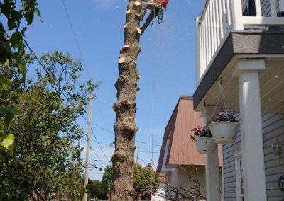 Elagage, taille dun arbre trop grand sur la Rive-Sud de Montréal - Arbreiz Élagage, Émondage, Élagage et coupe d'arbre sur la rive-sud de montréal et à montréal (1)