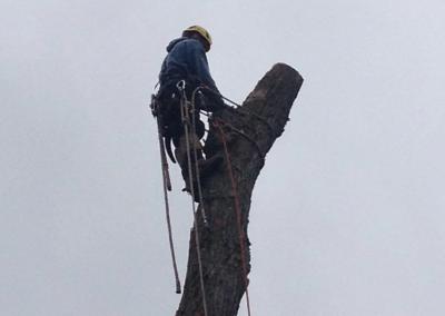 La coupe dun arbre emondage et elagage sur la Rive-Sud de Montréal - Arbreiz Élagage, Émondage, Élagage et coupe d'arbre sur la rive-sud de montréal et à montréal (1)