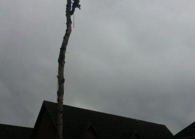 coupe dun arbre tres grand sur la Rive-Sud de Montréal - Arbreiz Élagage, Émondage, Élagage et coupe d'arbre sur la rive-sud de montréal et à montréal (1)