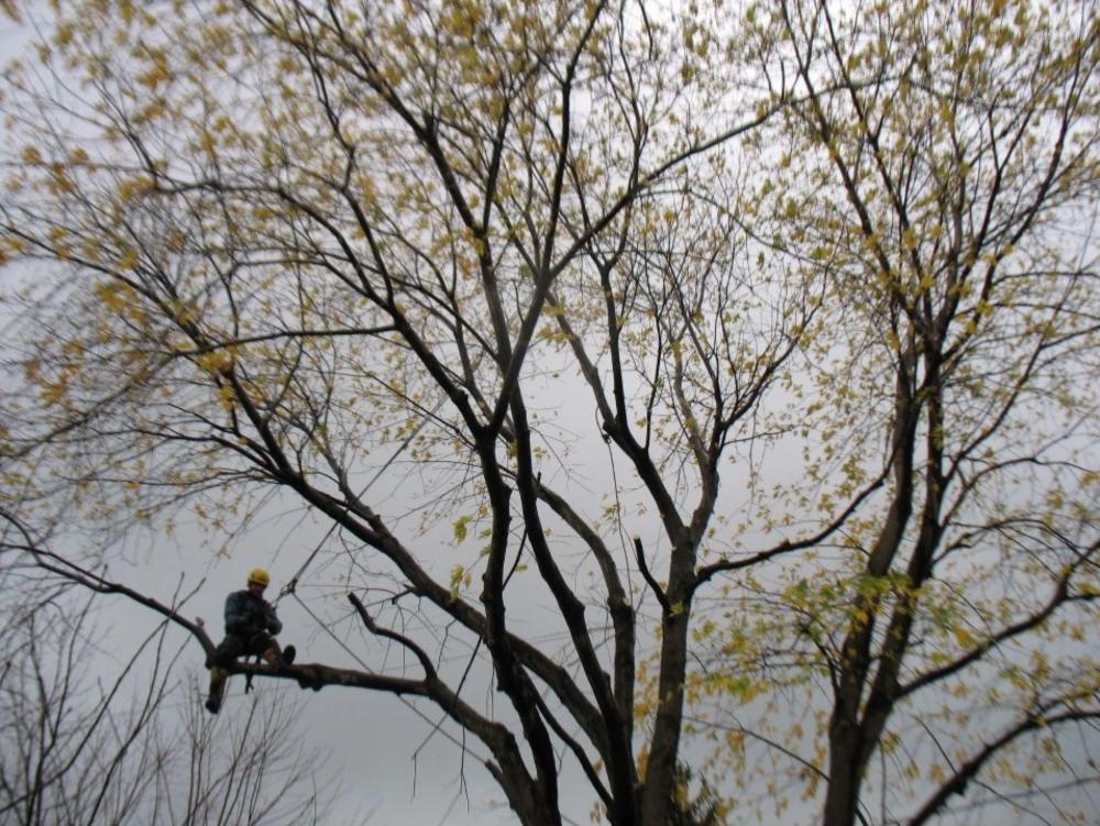 coupe dun arbre trop grand service de coupe darbre sur la Rive-Sud de Montréal - Arbreiz Élagage, Émondage, Élagage et coupe d'arbre sur la rive-sud de montréal et à montréal
