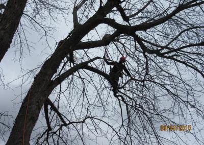 coupe dun arbre trop grand sur la Rive-Sud de Montréal - Arbreiz Élagage, Émondage, Élagage et coupe d'arbre sur la rive-sud de montréal et à montréal