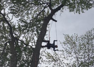 elagage dun arbre sur la Rive-Sud de Montréal - Arbreiz Élagage, Émondage, Élagage et coupe d'arbre sur la rive-sud de montréal et à montréal (1)