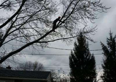 taille des branches dun arbre trop grand sur la Rive-Sud de Montréal - Arbreiz Élagage, Émondage, Élagage et coupe d'arbre sur la rive-sud de montréal et à montréal