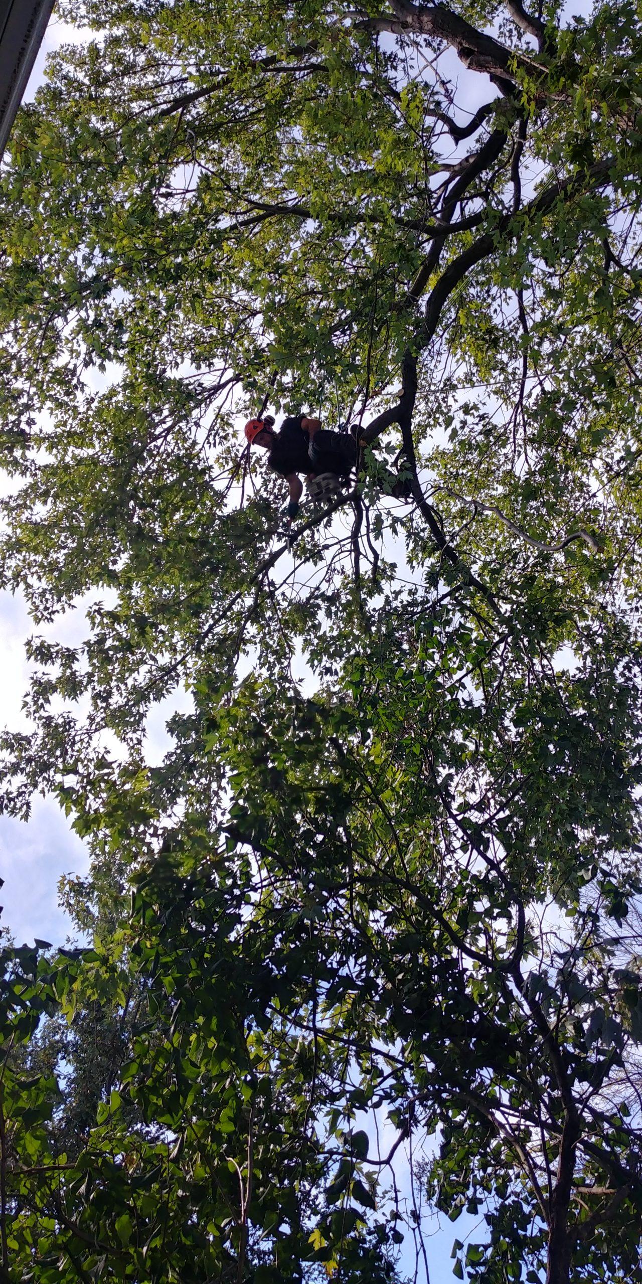 Coupe d'arbre à la scie abattage arbre dangereux sur la Rive-Sud - Arbreiz Élagage sur la Rive-Sud de Montréal et à Montréal